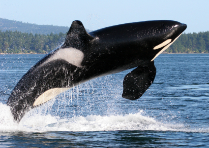 Southern Resident Killer Whale Breaching