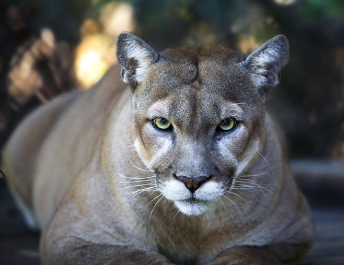 Environmental Groups Seek Protection for Mountain Lions in Southern California