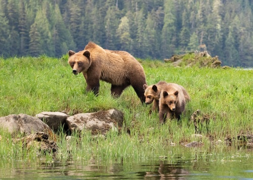 Service Launches Comprehensive Review of Grizzly Bear ESA Status
