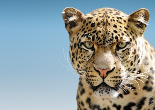 Tenth Circuit Sends Jaguar Critical Habitat Back to District Court