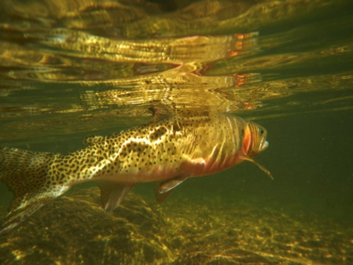 FWS Ordered to Explain Rio Grande Cutthroat Trout Decision