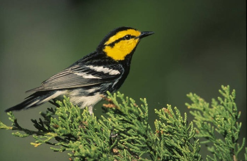 Service Must Revisit Whether To Delist Golden-Cheeked Warbler