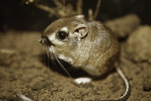 Kangaroo Rat: From Endangered to Threatened