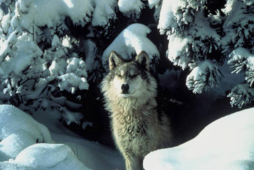 Gray Wolf Removed from Endangered Species List & Environmental Groups File Notice of Intent to Sue