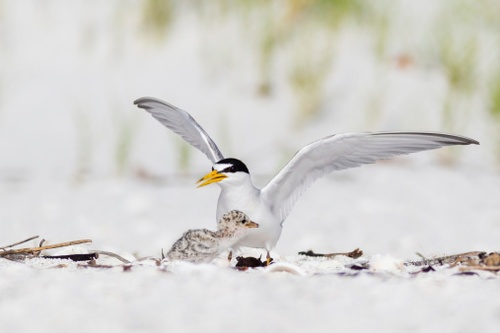 FWS Proposes Removing Interior Least Tern from ESA Protection