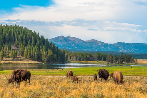 FWS Rejects Petitions to List Yellowstone Bison, But Other Listing and Critical Habitat Designations May be Warranted