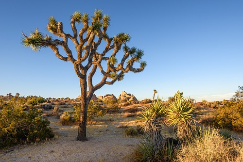 FWS Decides Not to List Joshua Tree and Other Species Under the ESA