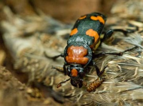 Service Announces American Burying Beetle Downlisting and 4(d) Rule