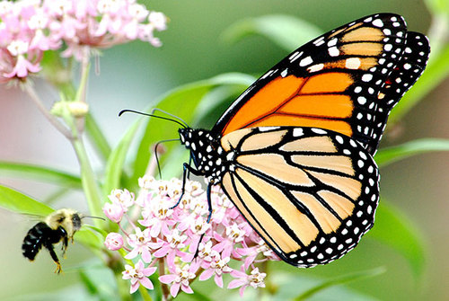 Monarch Butterfly Conservation Agreement Takes Flight