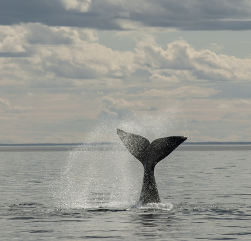 NMFS Proposes Rule to Reduce North Atlantic Right Whale Entanglements in Fishing Gear